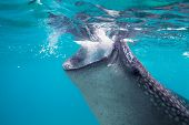 picture of plankton  - Underwater shoot of a gigantic whale sharks  - JPG