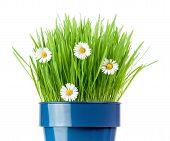 stock photo of catnip  - fresh grass and botany daisies growing in metallic pot - JPG