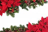 image of fir  - Christmas poinsettia flower background border with holly - JPG