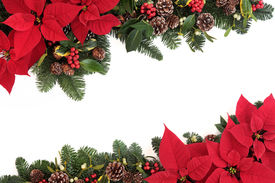 picture of poinsettia  - Christmas poinsettia flower background border with holly - JPG