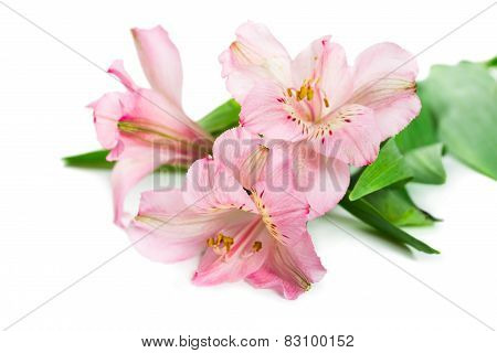 Blooming Flower Alstroemeria