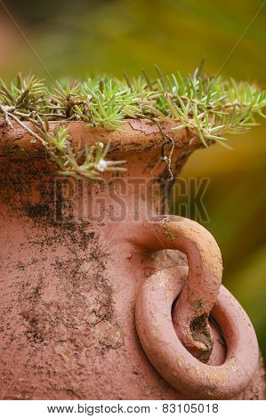 Terracotta vase with rosemary