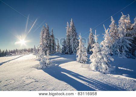 Majestic winter trees glowing by sunlight. Dramatic wintry scene. Carpathian, Ukraine, Europe. Beauty world. Happy New Year!