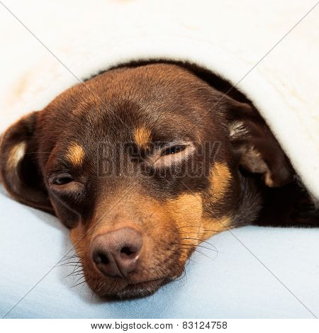 Mixed Dog Sleeping On Bed At Home