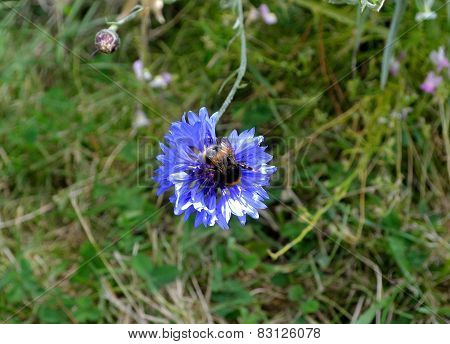 The Bumble-bee On A Corn- Flower