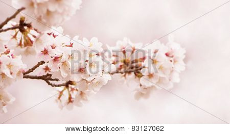 Spring cherry blossoms. horizontally wide title header dimension image. Shallow depth of field.