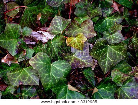 Ivy Quietude
