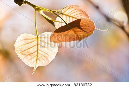 Backlit shot Sacred Fig Tree, Pipal Tree, Bohhi Tree, Bo Tree, Peepul, Ficus religiosa