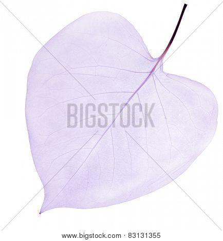 light lilac leaf skeleton isolated on white background