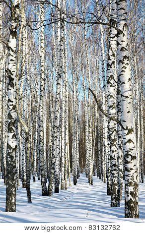 Pathway In Winter Birch Forest On Blue Sky