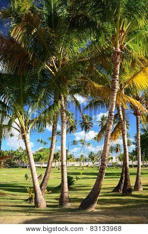 Coconut Palm Trees In Dominican Republic