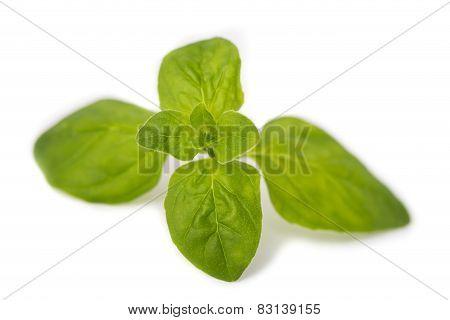 Sprig Of Fresh Oregano