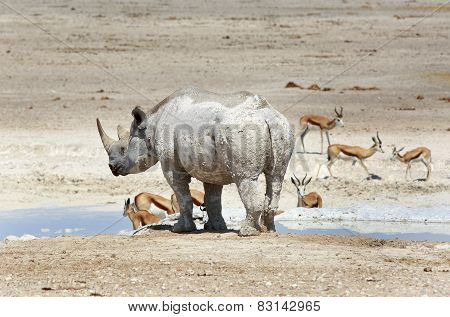 Black Rhino and springbok