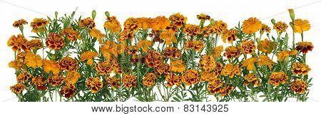 Gold Saffron Flowers Line