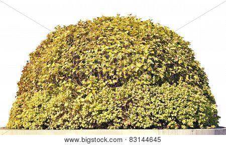 Golden Spherical  Isolated Bush