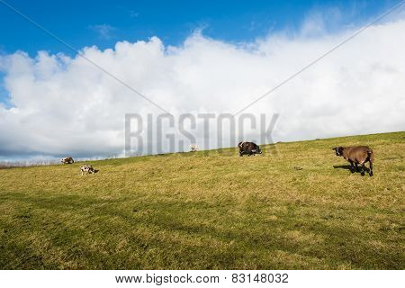 Sheep Grazing On A Dike