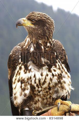 Bald Eagle, Canada