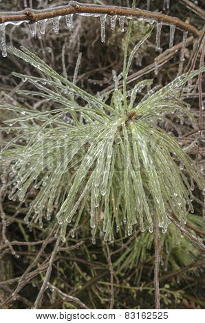 Pine Bough Ice Encased