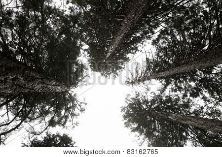 A group of Pine treetops