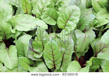 Swiss Chard Silverbeet Vegetable