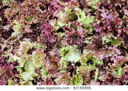 Red Coral Lettuce Salad