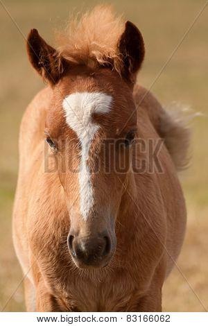cute chestnut foal