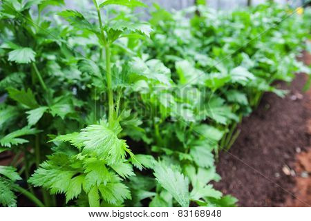 Celery Growing In Farm