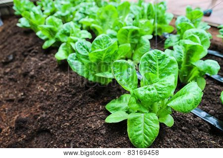 Cos Lettuce Growing In Farm
