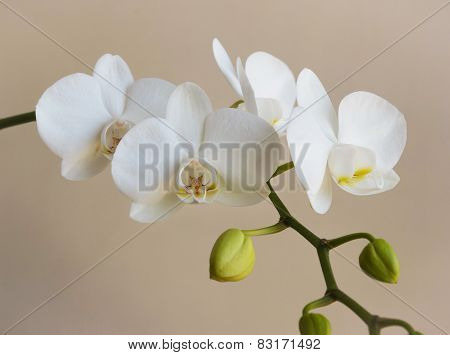 White Orchid1