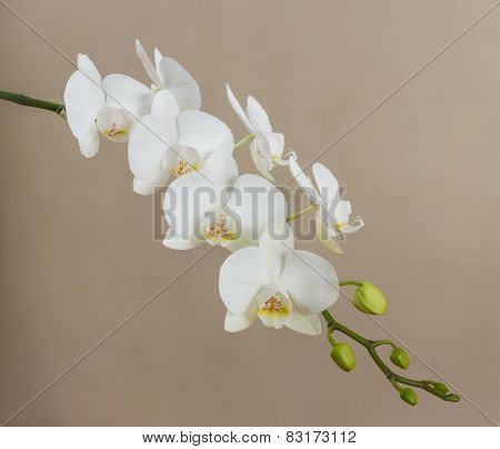 White Orchid On Beige