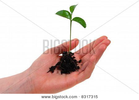 Young Plant In A Hand