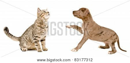 Curious cat Scottish Straight and puppy pit bull