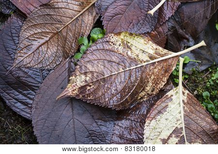 Wet Through Fallen Maple Leaves