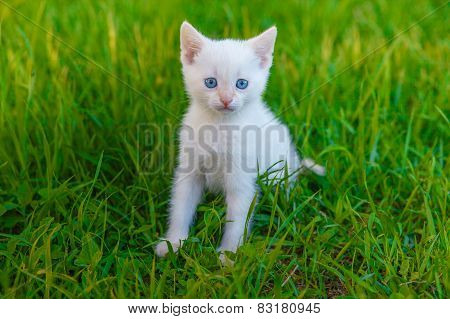 kitten cute cat with blue eyes, white on green grass pet animal