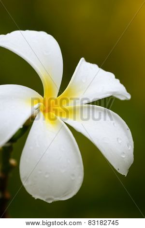 White Plumeria Flower With Water Drops