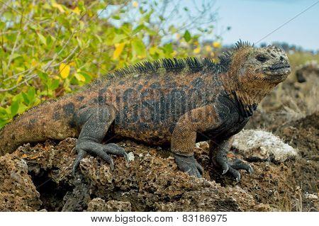 beautiful iguana resting in the beach santa cruz galapagos