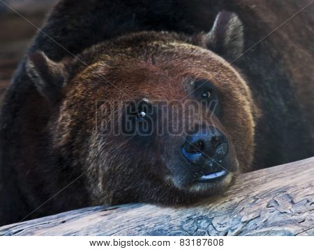A Portrait Of A Resting Grizzly Bear
