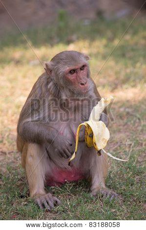 Rhesus Macaque Eating Banana At Tughlaqabad Fort, Delhi, India