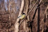 pic of great tit  - Great tit on a branch of a tree in the park - JPG