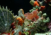 picture of scorpion  - Pink camo fish in the scorpion fish family - JPG