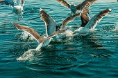 pic of flock seagulls  - Animals nature and action - JPG