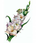 stock photo of gladiolus  - Watercolor image of pink gladiolus on white background - JPG