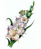 stock photo of gladiolus  - Watercolor image of pink gladiolus on white background - JPG