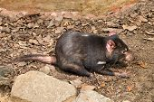 foto of zoo  - a small tasmanian devil in the zoo