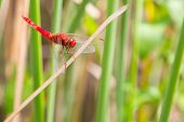 picture of ruddy-faced  - The Red dragonfly looking at the camera and green background - JPG