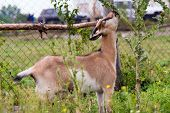 image of pygmy goat  - The goat eats a grass in the field - JPG
