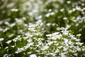 image of greater  - White flowers of Stellaria holostea  - JPG