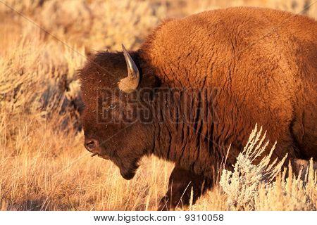 Adult Bull Bison