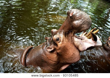 Hippopotamus (Hippo) Giant opened its mouth on the water.  in chiangmai zoo ,thailand