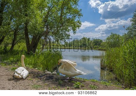 Swans and cygnets on the shore of a lake in spring
